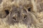 Львы 3D кадры