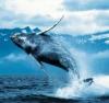 Китовая Тень